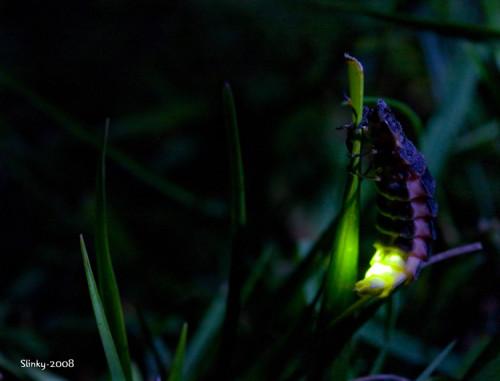 Lampyris noctiluca © www.fenland-photography.co.uk